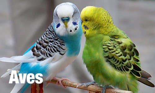 aves-1